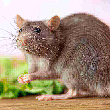 rats - bed bugs pest control
